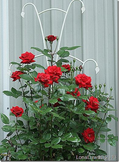 Rose_CrimsonBouquet_Grandiflora