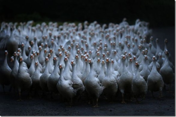 APTOPIX Germany Christmas Geese
