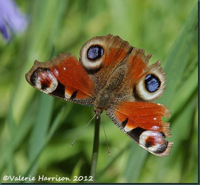Peacock-Butterfly