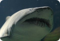 tiburonesen extincion