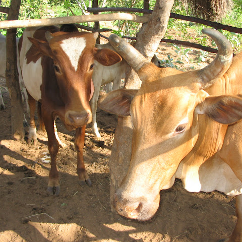 Local cattle survive well in semi-arid areas.