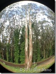 SueReno_SanBruno_Eucalyptus