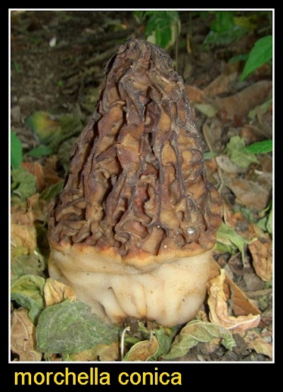 04 - Morchella Conica.jpg