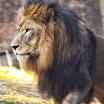 Zoo Atlanta Lion