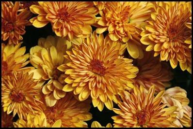 Chrysanthemums2