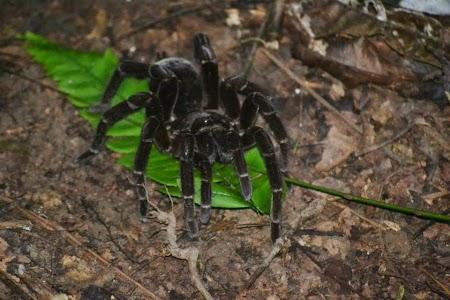 Jungla amazoniana: Tarantula