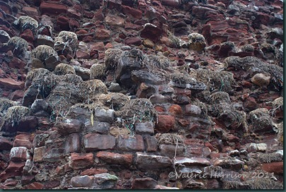 2-kittiwake-nests