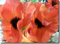 dp silk poppies