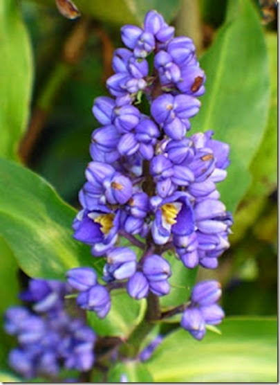 Dichorisandra (jengibre azul)