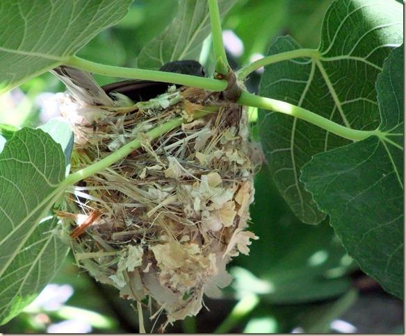 Bell's vireo nest Tohono Chul Park 6-1-2012 9-20-57 AM 3616x2712