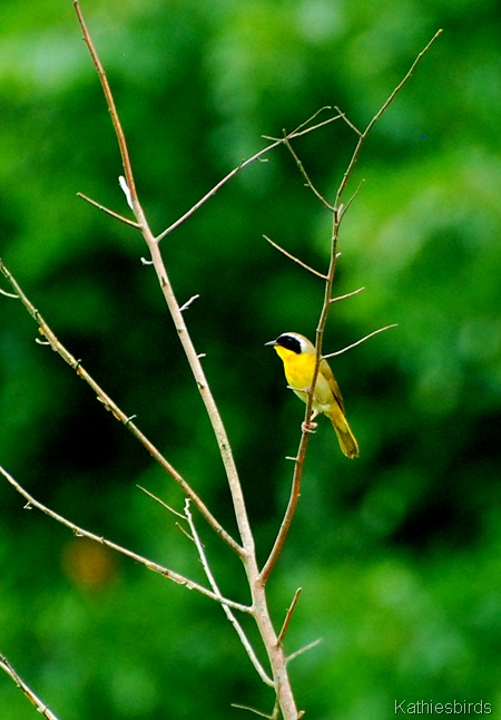 5. common yellowthroat-kab