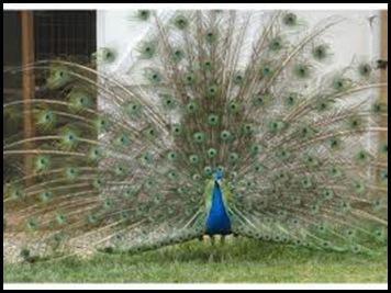 ash lawn peacock