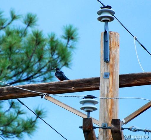 4. Lewis woodpecker-kab