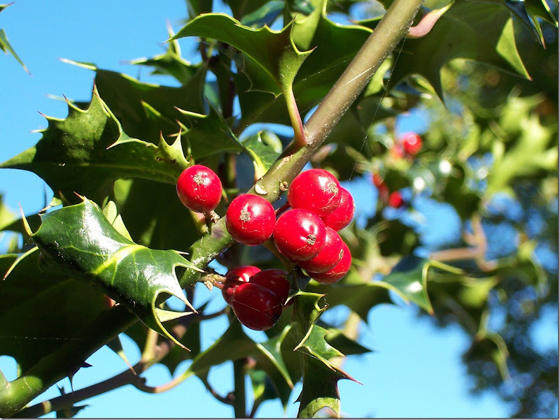 Image, December symbols; Its birth flower is the Holly or Euphorbia pulcherrima. Ilex-aquifolium (Europaeische Stechpalme)