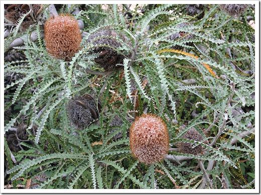 111015_Santa-Cruz_UCSCA_Banksia-speciosa_01