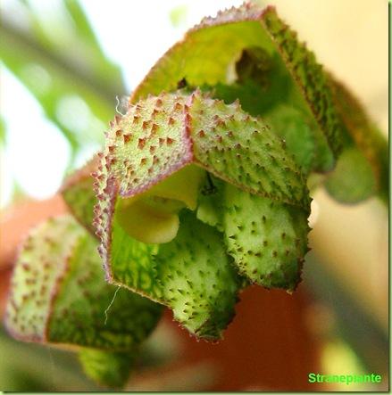 monadenium echinulatum fiore nel fiore