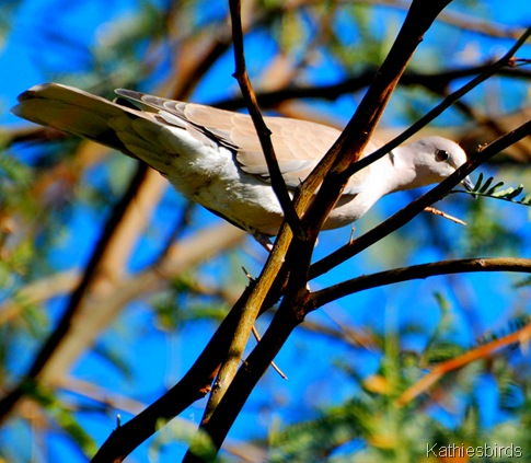 28. Eusrasian collared dove-kab