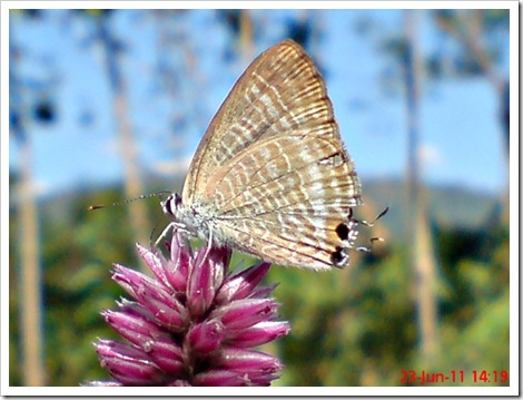 The Peablue, Pea Blue, or Long-tailed Blue (Lampides boeticus) 1