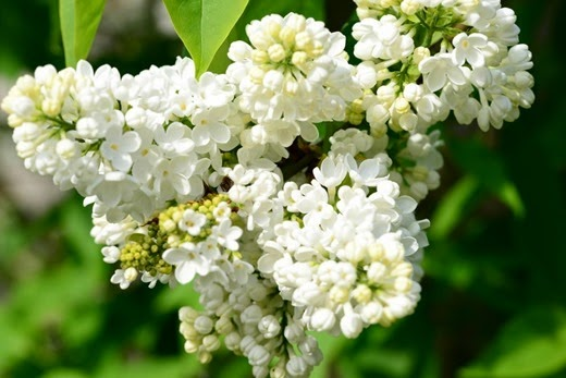 Lilac -white - lie-luck bush