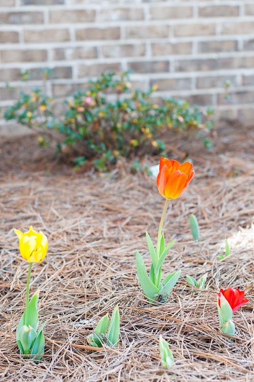 Tulips blog-1