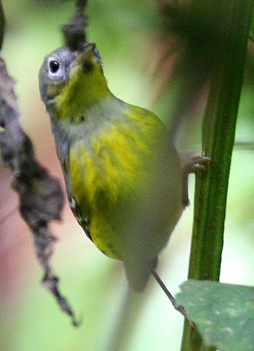 9-22-09, Horse weed by our creek, 1st fall male Magnolia Warbler