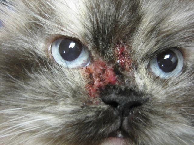 My Cat Has Black Crust On His Nose Bridge