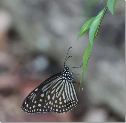dark glassy tiger