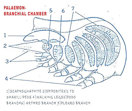 gills-palaemon