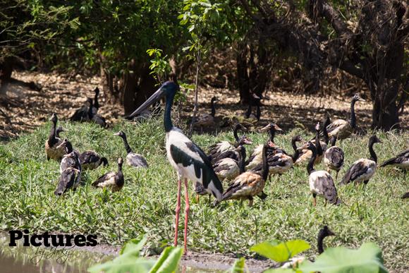 jabiru between geese