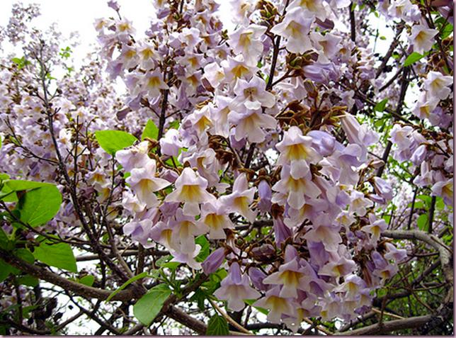 Paulownia tomentosa flowers