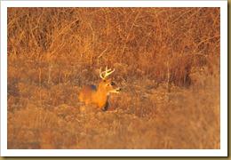- Buck in the MeadowROT_2067 January 02, 2012 NIKON D3S