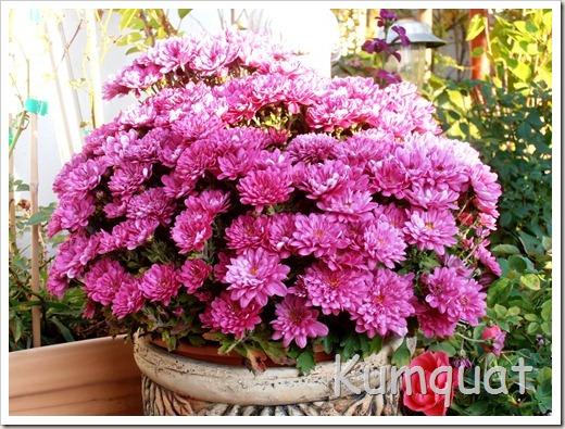 crisantemo 2