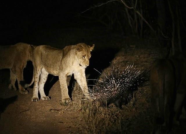 (Video) Un puercoespín se enfrenta a 17 leones