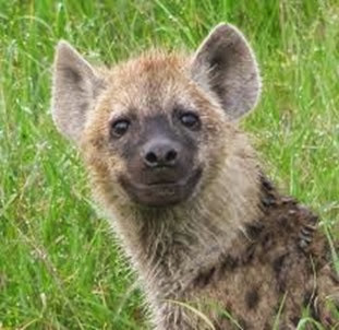 Amazing Pictures of Animals, Photo, Nature, Incredibel, Funny, Zoo, Hyena, Mammals, Alex (16)
