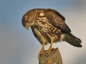 aguia-de-asa-redonda