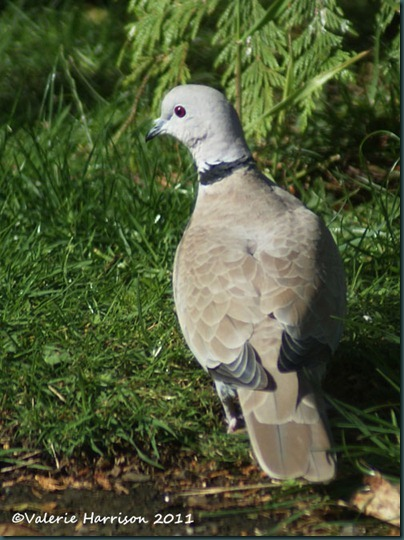 16 collared-dove