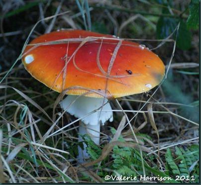 26-fly-agaric