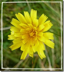 not a dandelion