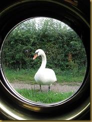 IMG_0021 Swan at Wheelock