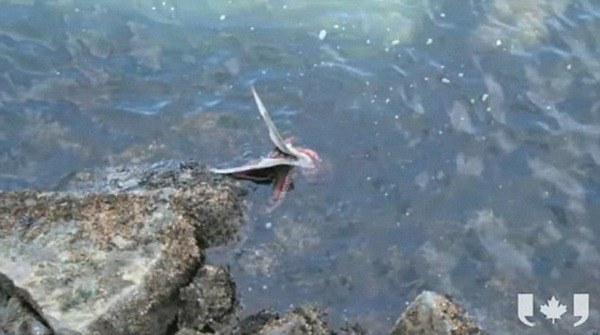 Having not surfaced for air since the octopus grabbed its head, the seagull was facing a losing battle to survive