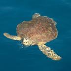 Eine grüne Meeresschildkröte kommt uns am Boot besuchen