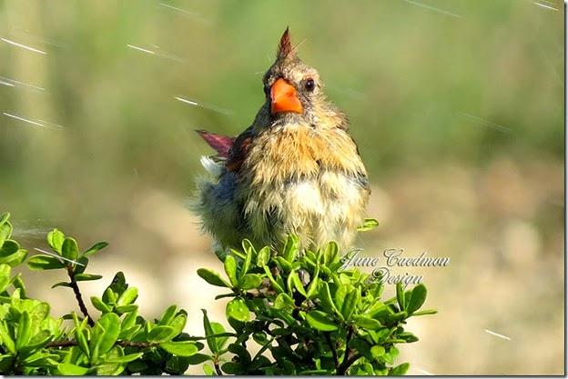 Cardinal_Bathing4