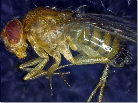 DROSOPHILA SYNTHETICA