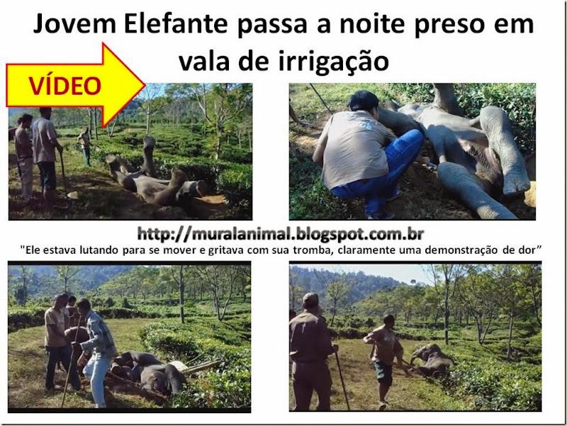 Jovem Elefante passa a noite preso em vala de irrigação
