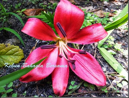 Lilium longiflorum Miyabi