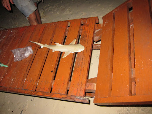 A fisherman displaying a small black tip reef shark caught on his line.