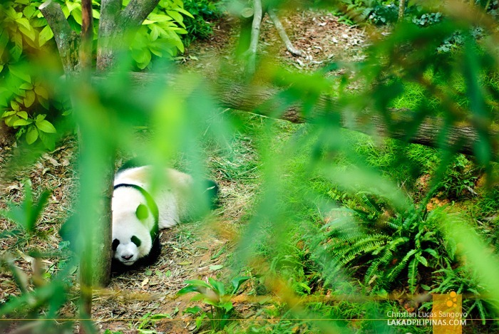 Kai Kai, One of Singapore's Giant Pandas, Resting after Meals