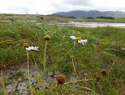 arisaig daisies