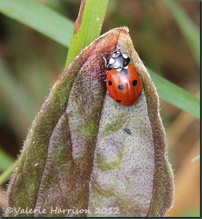 54-7-spot-ladybird