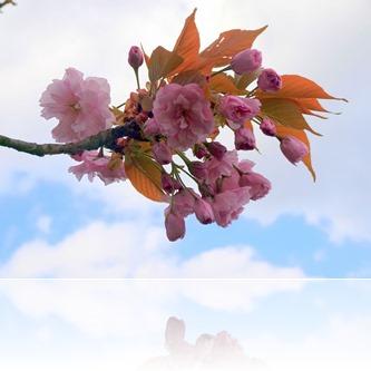 Die Kirsche im Frühling
